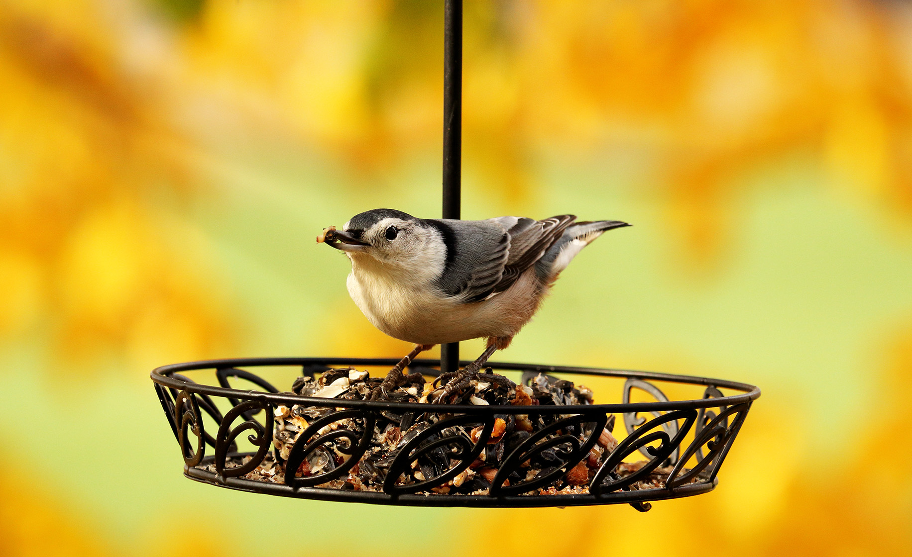White-breasted nuthatch photo by Shutterstock