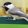 Bird Identification Guide: Chickadees & Allies