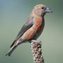 Bird Identification Guide: Finches & Allies