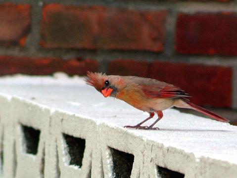 Cardinal on my Terrace
